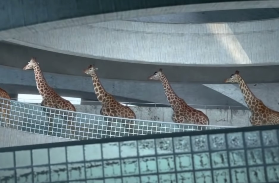 Giraffes, walk,swimming pool,pool,swim,animals,swim,amazing video,best video,viral video,viral post,most viewed,funniest,coolest video,cool