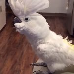 viral video,Cockatoo video,bird video,most viewed,best video for birds,most viewed birds,rare birds,rarest birds,amazing cockatoo,smartest birds,speaking birds,video for speaking birds