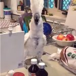 This White Cockatoo Loves To Dance. But Wait Till You See What He Does At The End! HILARIOUS!