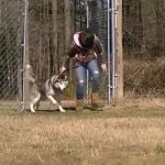 Lonely Husky Was Chained His Entire Life