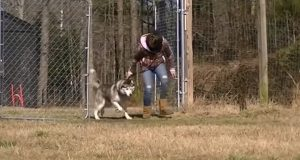 husky, adopt, rescue, antichaining, dog, doglover, freedom, dogs deserve better, stories, rescue team, animals rescue, amazing rescue team,