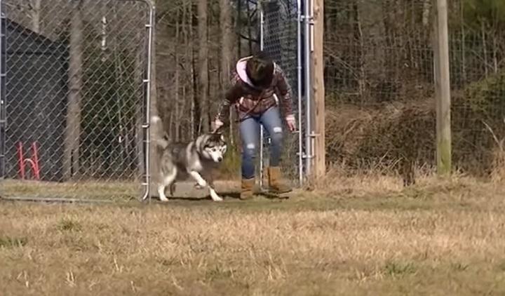 husky, adopt, rescue, antichaining, dog, doglover, freedom, dogs deserve better, stories, rescue team, animals rescue, amazing rescue team,