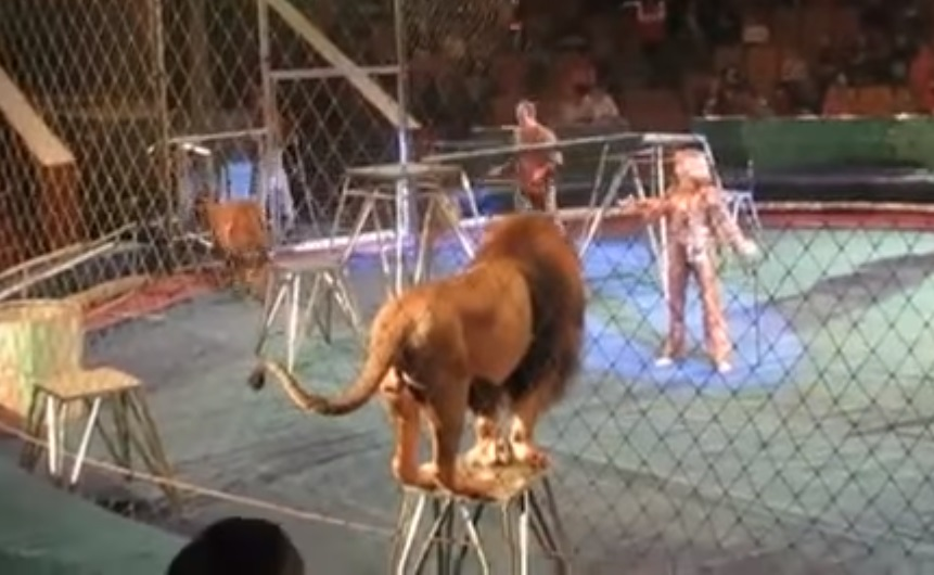 incredible, interview, accident, lion, circus, trainers, lion attack, animals, touching, attack, animal attack, touching video, touchingstorie,