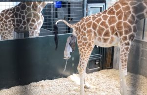 giraffe, touching storie, magical, warm your heart, giving birth, animal, new born, baby giraffe,