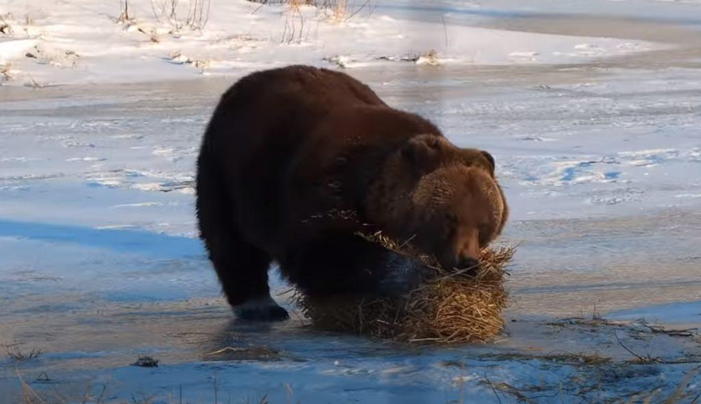 bear, playing, hay, grizzly, funny, alaska, funny bear, brown bear, bear movie, fuuny animal video, viral bear