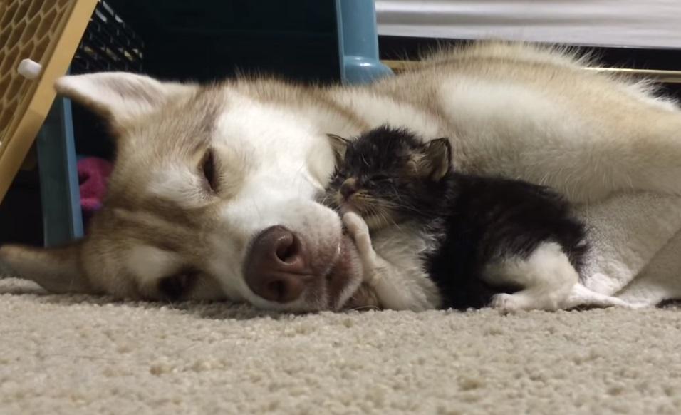 Siberian husky, Husky, Cat, Kitten, Surrogate, Foster, Puppy, Dog, Mother, Tarzan,