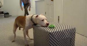 wallace, pit, bull, pitbull, birthday, dog, celebrate, frisbee,