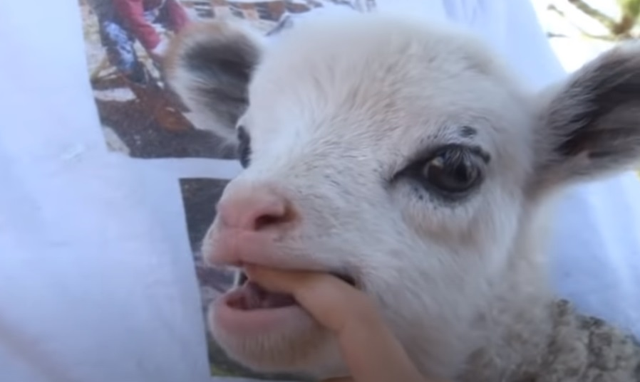 Scottsdale, baby geep, half goat half sheep, vpcseen, arizona, have you seen, usatyoutube, KPNX, viral, water cooler, offbeat, GEEP,viral,video,animals video,viral animals,viral pets,best of,cutest,priceless,amazing,hybrid creatures