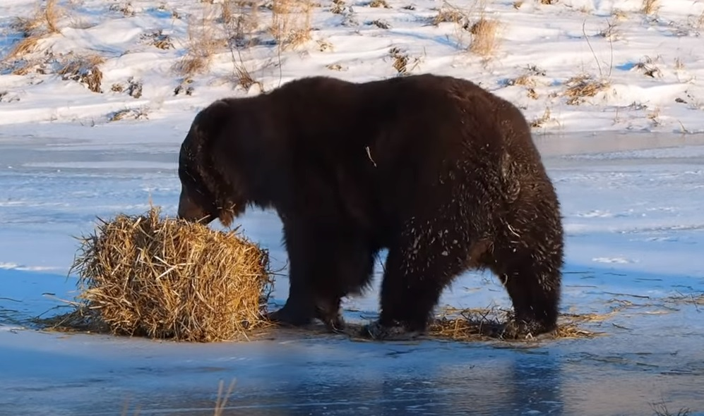 bear, playing, hay, grizzly, funny, alaska, funny bear, brown bear, bear movie, fuuny animal video, viral bear