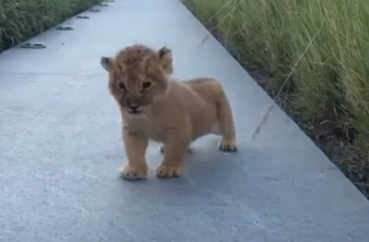 viral,video,roar,roaring,lion cub,tiny cub,tiny lion,baby lion,baby animals,adorable,animals,savage animals,dangerous animals,wild animals,viral video,cute,cute puppies,amazing,most viewed,most shared,most watched