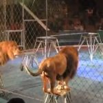 This Lion Was Fed Up Of Being Poked By The Trainer. How He Reacts Left Me Shocked, OMG!