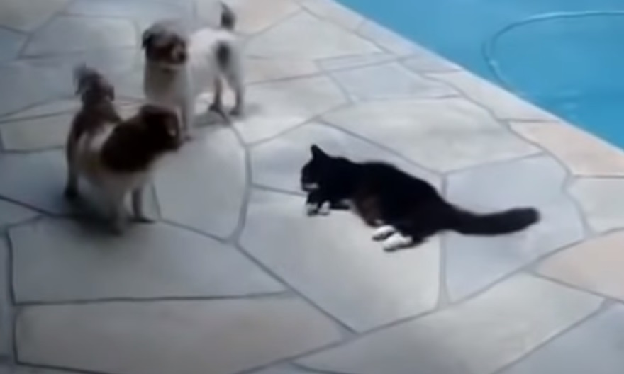 cat. pushes, dog, pull, pushes, cat, pool, chris, cohen, argument, translation, funny, holiday, french, security,