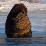An annoyed Bear was thrown A bale of hay