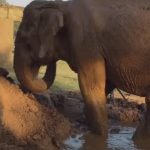 Blind Elephant has Labored For 73 Years