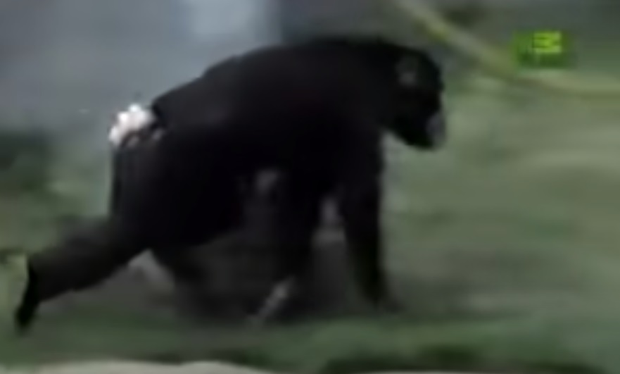 chimp, rescue, amazing, best rescue, amazing save, chimpanzee, ape, zoo incident,
