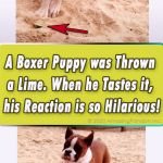 A Boxer Puppy was Thrown a Lime