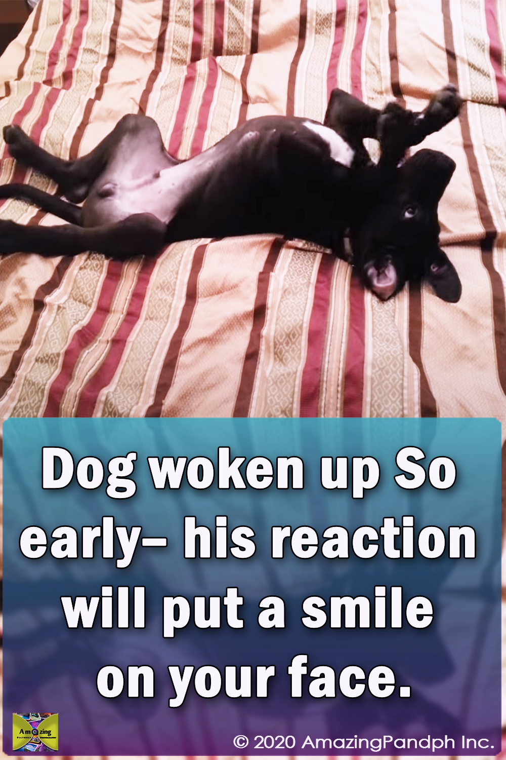 dogs, pets, puppies, puppy, pugs, cute, cute puppies, amazing, wake up, morning, reaction,