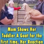 Mom Shows Her Toddler A Goat for the first time