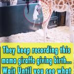 They keep recording this mama giraffe giving birth