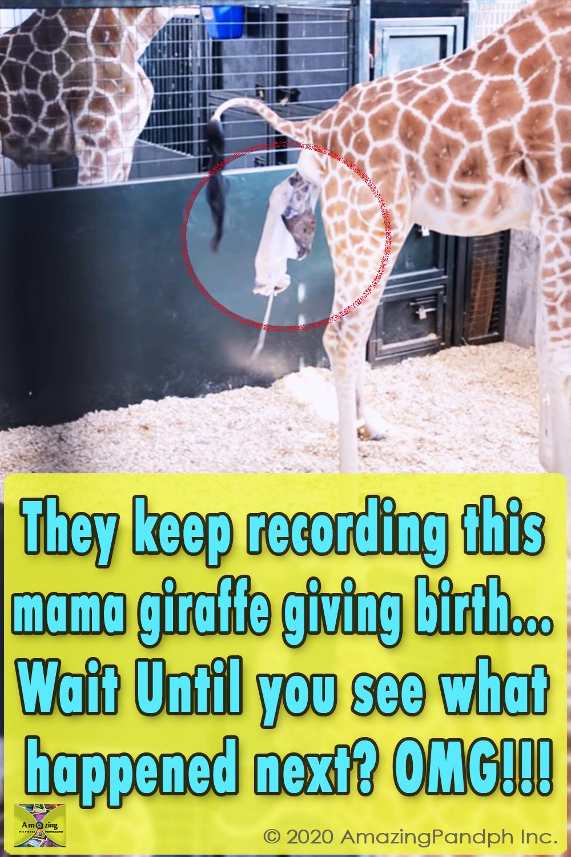 giraffe, touching storie, magical, warm your heart, giving birth, animal, new born, baby giraffe,