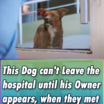 This Dog can't Leave the hospital until his Owner appears, when they met again… I am fighting back tears!