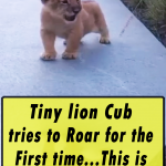 Tiny lion Cub tries to Roar for the First time