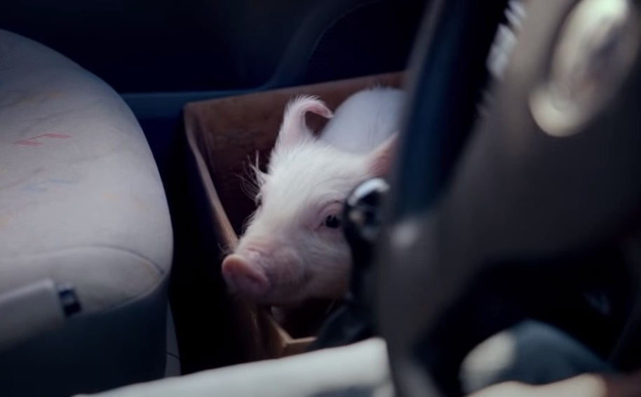 Pig, Vodafone Pig Ad, Vodafone Pig, Vodafone Pig TV, Vodafone Ireland, Vodafone Ireland TV, Piglet, Micropig, Vodafone Ireland Piggy, Vodafone Piggy Sue,viral video,most viewed,amazing video,animals video,best of