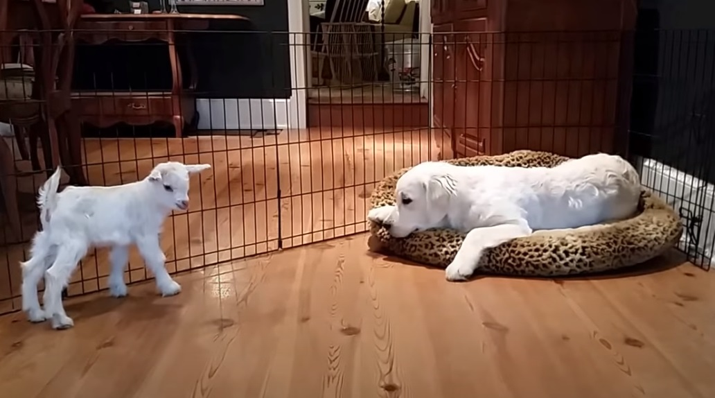 While enjoying his Nap They introduce him a Goat …Wait until you see the puppy's reaction! PRICELESS!!