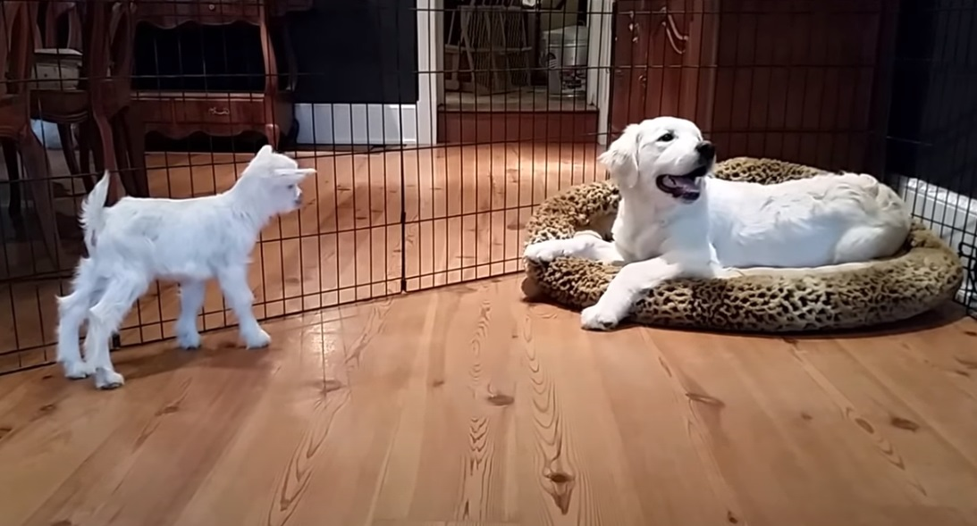 goat, baby, puppy, cute, silly, funny, animal, animals,adorable,viral,video,cutest thing ever,cute,sweetest ever,sweet