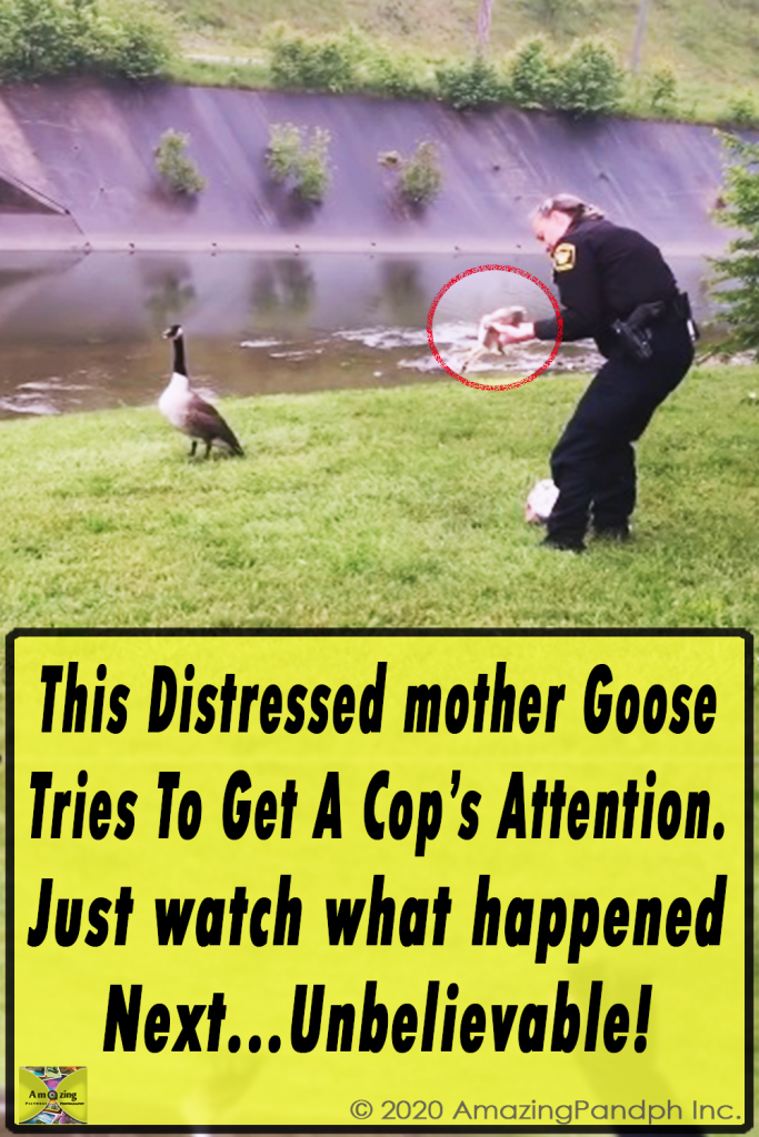 Mother love, Goose, Bird, Rescue, Cop, Unbelievable, Astonishing,